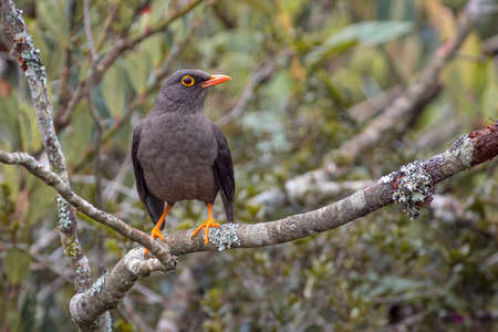 Great thrush (Turdus fuscater) perched calmly on a tree branch while looking to the right