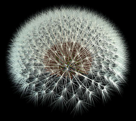 3d Generated dandelion seeds on black background for better viewing. Fibonacci  golden ratio experimentation.