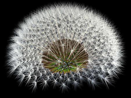 golden ratio: Las semillas de diente de le�n, 3d fondo generado, negro. Secuencia de Fibonacci y los experimentos de oro de relaci�n. Foto de archivo