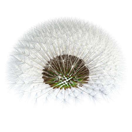 golden ratio: Diente de le�n inclina un poco hacia arriba, viendo las plantas por debajo. Experimento de proporci�n �urea. Arreglos de semillas precisos. Alrededor de 400 semillas.