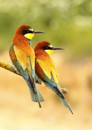 Couple of bee-eater with blurred background Stock Photo