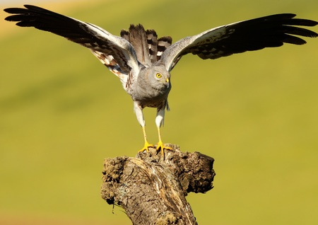 Male Montagus Harrier in natural host
