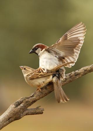 Copula of sparrows