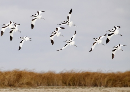 birds lake: avocets in group flight Stock Photo