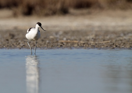 avocet: avocet common in the lake eating peacefully Stock Photo