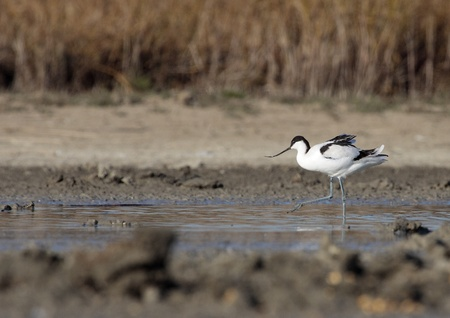 avocet: Common in the lagoon Avocet placidly eating