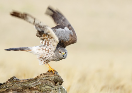 montagus harrier about to take flight