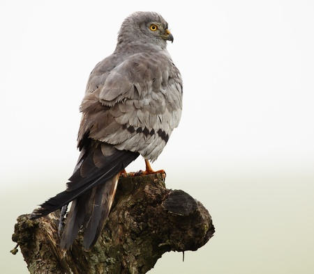 male montagus harrier, in natural host at dawn on a cloudy day