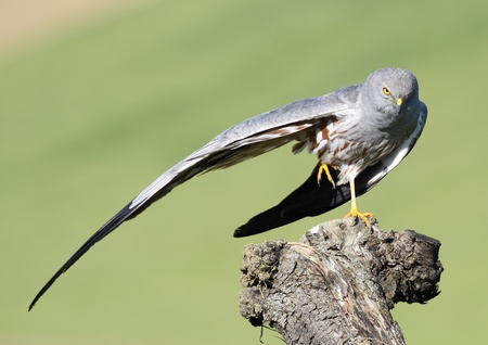 male montagus harrier, in natural host of focus in fund balance with Stock Photo