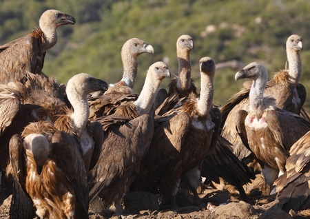 vultures eating on the dunghill Stock Photo