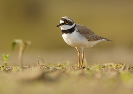 Pair of ringed plover habitat in photo