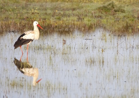 white stork in the wild photo