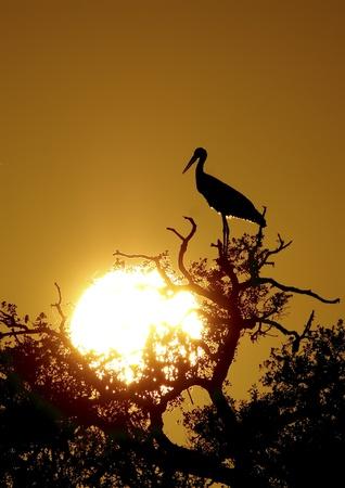 white stork in the wild