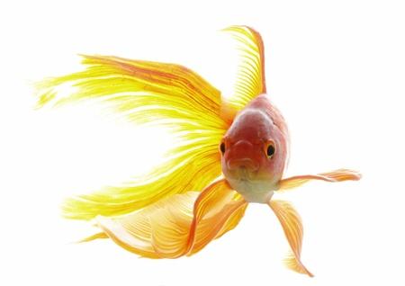 goldfish on a white background Stock Photo - 11961756