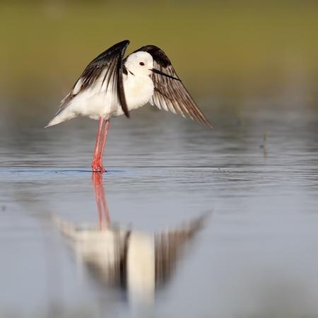 winged stilt in the wild wild photo