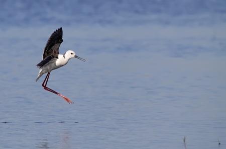 winged stilt in the wild wild