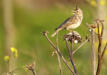 Crested Lark in the wild Stock Photo