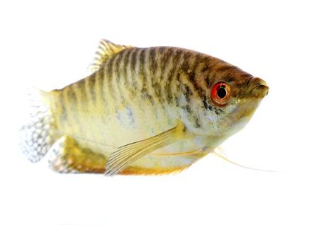 Paradise fish lone white background