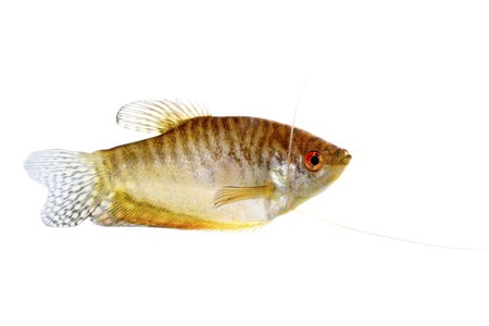 Paradise fish lone white background photo