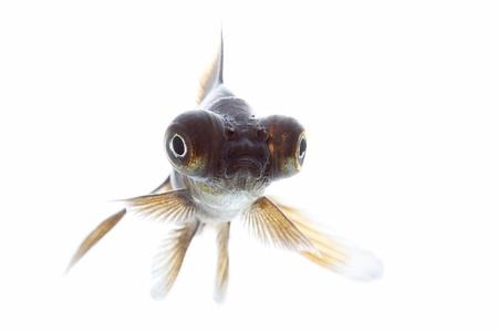 telescope fish isolated on white background Stock Photo