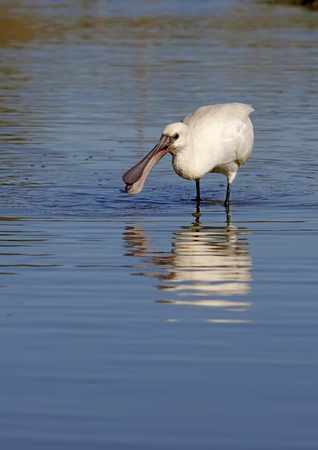 Spoonbill in the wild in total freedom photo