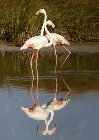 pink flamingo: pink flamingo in the wild in total freedom