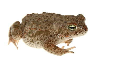 natterjack toad isolated on white background young photo