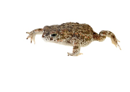 bufo bufo: natterjack toad isolated on white background young Stock Photo