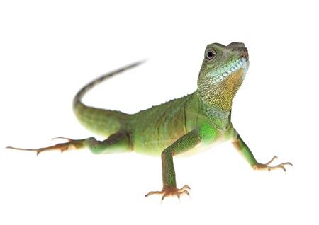 lizard: Drag�n de agua chino sobre fondo blanco