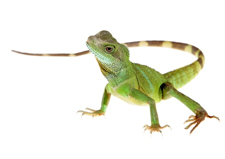 lagarto: Drag�n de agua chino sobre fondo blanco