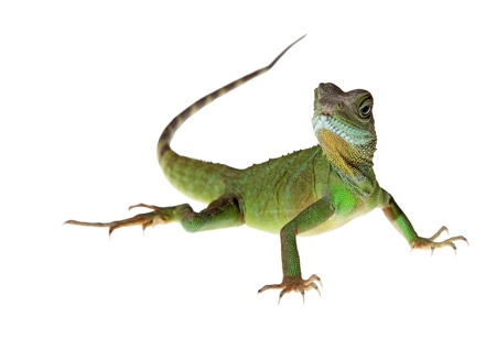 Chinese water dragon on white background picture Stock Photo - 13749422