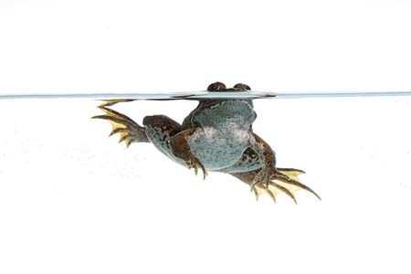 common frog in the water with white background photo