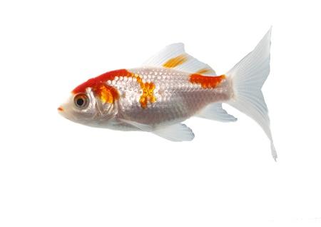 blanco: bicolor, de peces de la familia de las carpas en el fondo blanco
