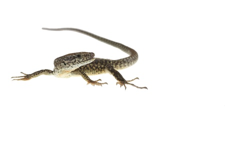 common lizard on white background with natural poses