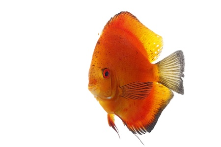 Discus orange isolated on white and clear photo