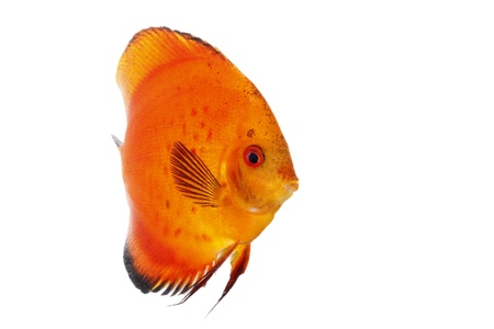 Discus orange isolated on white and clear Stock Photo - 14717443