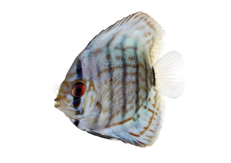 Blue Discus isolated on white and clear Stock Photo - 14717446