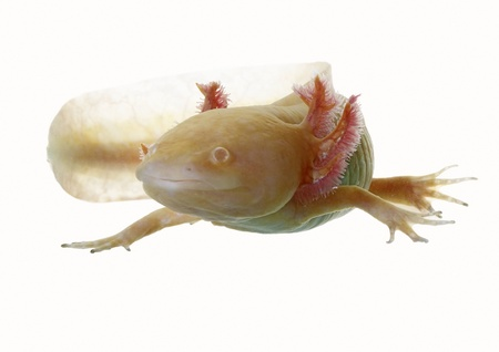 axolotl on white background in natural poses Stock Photo - 14820996