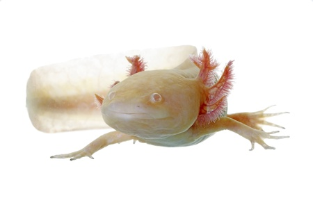 axolotl on white background in natural poses