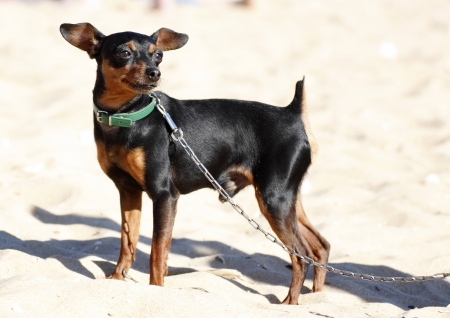 miniature pinscher with chain on the beach photo