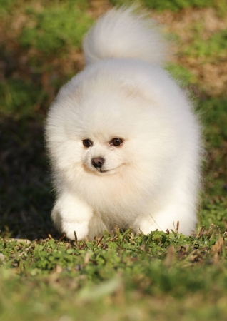 Pomeranian breed lulu posing for the camera Stock Photo