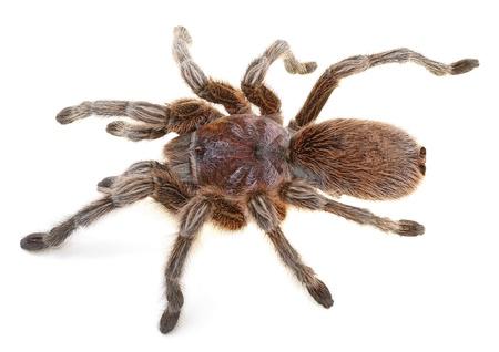 arachnophobia: Chilean Rose Spider isolated on white background