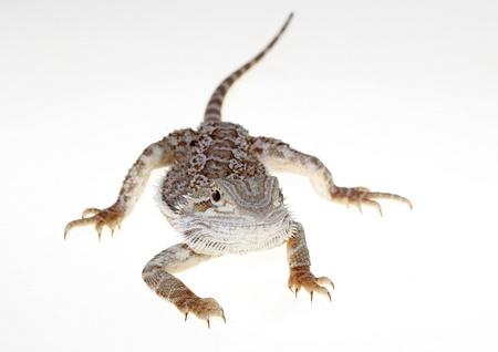 Bearded dragon isolated on white background single Stock Photo