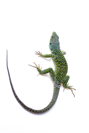 Ocellated lizard isolated on white background Stock Photo