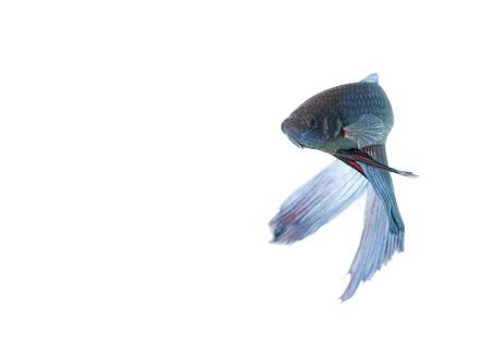 blanco: blue betta acuario con fondo blanco aislado