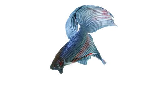 fondo azul: blue betta acuario con fondo blanco aislado