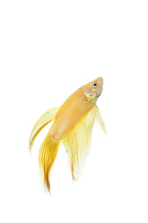 betta golden fish tank with isolated white background