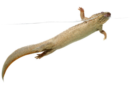 outrageous: Spanish family urodele amphibian commonly called gallipato Stock Photo