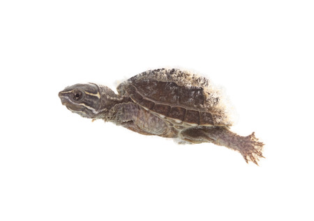 musk: musk turtle isolated on white background