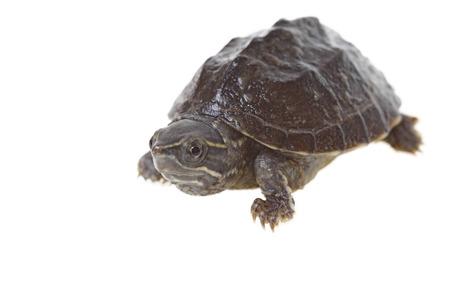 musk turtle isolated on white background
